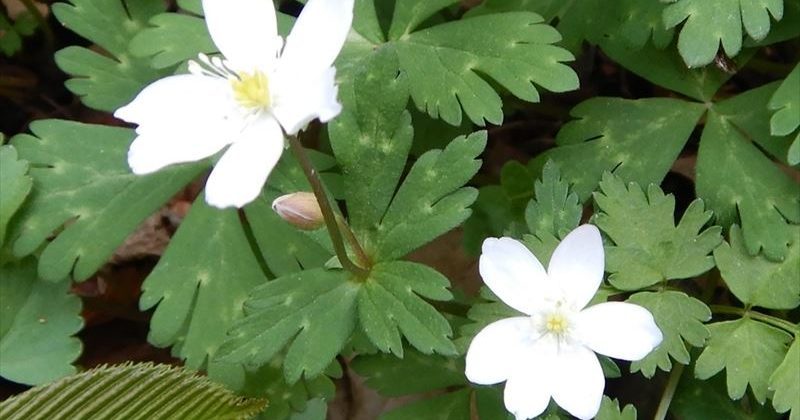 ニリンソウ 花