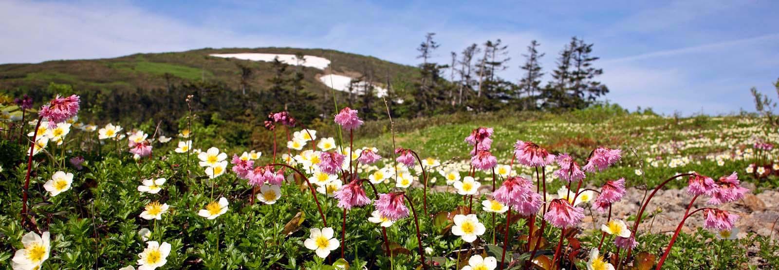 森吉山の花