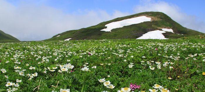 焼石岳 ハクサンイチゲ